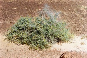 Acacia adoxa _1