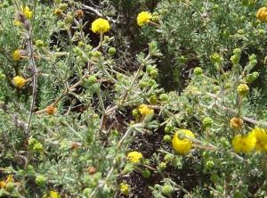 Acacia adoxa ssp adoxa1
