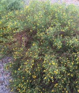 Acacia adoxa ssp subglabra