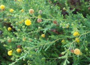Acacia adoxa