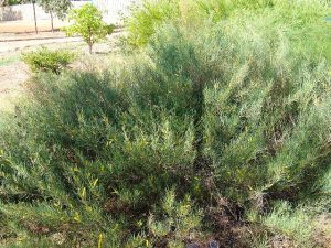 Acacia arida