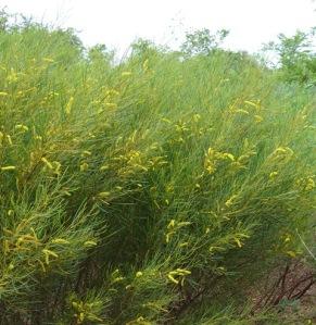 Acacia arida1