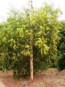 Acacia auriculiformis1