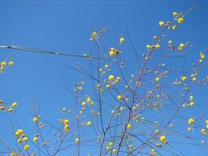 Acacia spectra