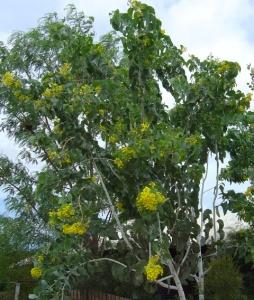 Acacia dunnii