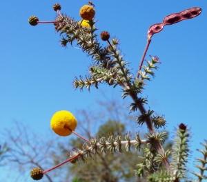 Acacia lycopodifolia1