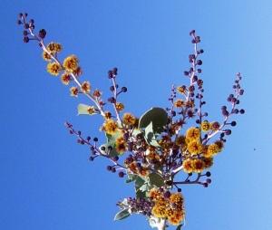 Acacia pyrifolia
