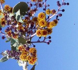 Acacia pyrifolia2