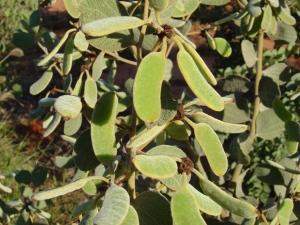 Acacia retivenia