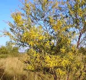 Acacia stigmatophylla