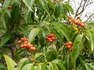 Aidia racemosa