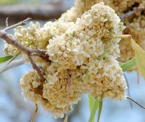 Atalaya variifolia