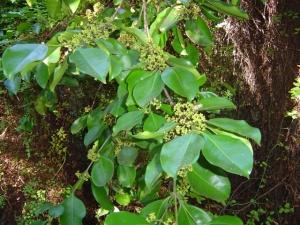 Carallea brachiata1