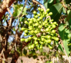 Corymbia flavescens2