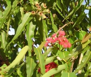 Corymbia ptychocarpa1
