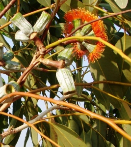 Eucalyptus miniata