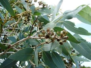 Eucalyptus argillacea