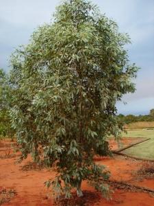 Eucalyptus brevifolia