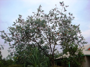 Eucalyptus ceracea