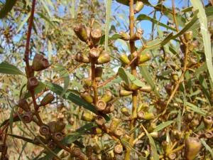 Eucalyptus odontocarpa