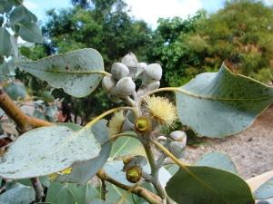 Eucalyptus pantoleuca