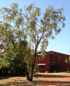 Eucalyptus tectifica