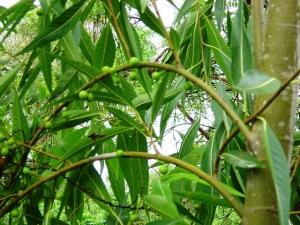 Ficus coronulata
