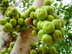 Ficus rac.fruit-1
