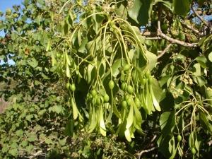 Gyrocarpus americanus1