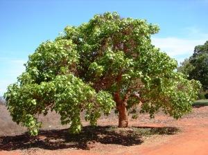 Gyrocarpus americanus3