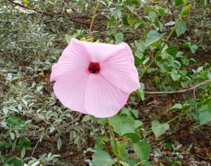Hibiscus frixellii3