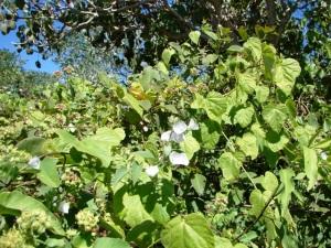 Jacquemontia paniculata