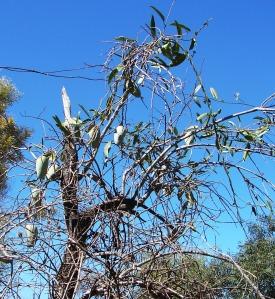 Marsdenia australis