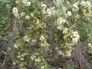 Melaleuca bracteata 3