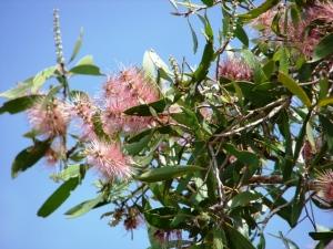 Melaleuca viridiflora