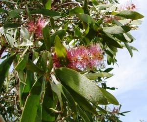 Melaleuca viridiflora1