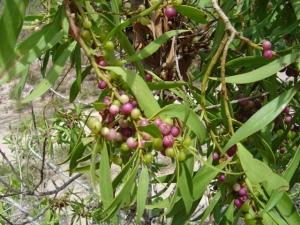Myoporum attenuatum