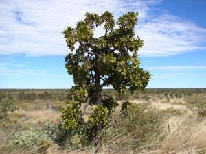 Owenia reticulata1