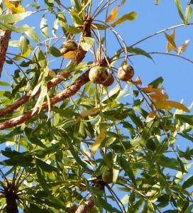 Owenia vernicosa5