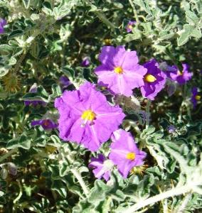 Solanum diversifolium
