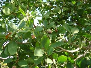 Terminalia ferdinandiana x petiolaris