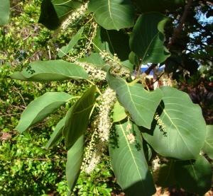 Terminalia ferdinandiana1