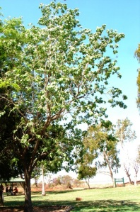 Terminalia platyphylla