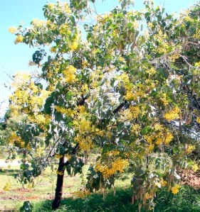 ac-dunnii-tree