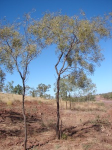 Acacia hemignosta