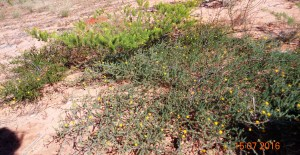 Acacia adoxa and acacia hippuroides
