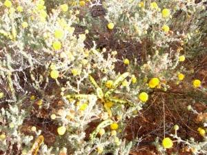 Acacia adoxa ssp adoxa
