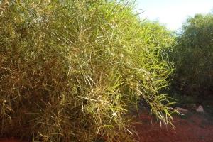 Acacia ampliceps
