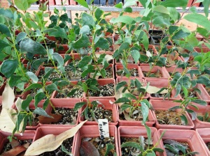 Acacia anaticeps a