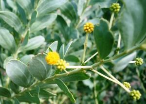 Acacia bivenosa